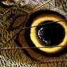 Cet oeil dessinée sur l'aile d'un papillon est un cadeau de la nature.