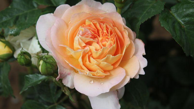 Rose c 39 est le moment de planter la reine du jardin for Rosier jardin de france