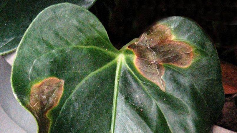 Anthurium quelles sont ces taches noires sur les feuilles for Maladie plante verte interieur
