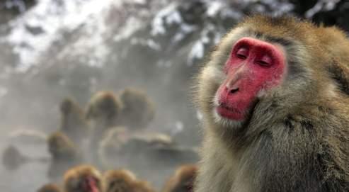 Des dizaines d'embryons de macaques clonés