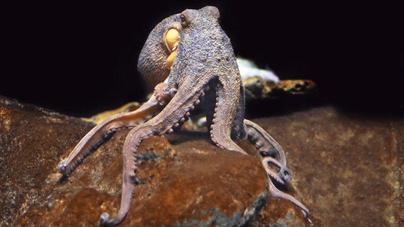 Record mondial de couvaison pour une maman pieuvre
