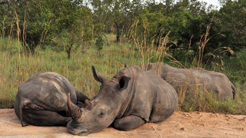 Braconnage : l'Afrique du Sud va évacuer des centaines de rhinocéros