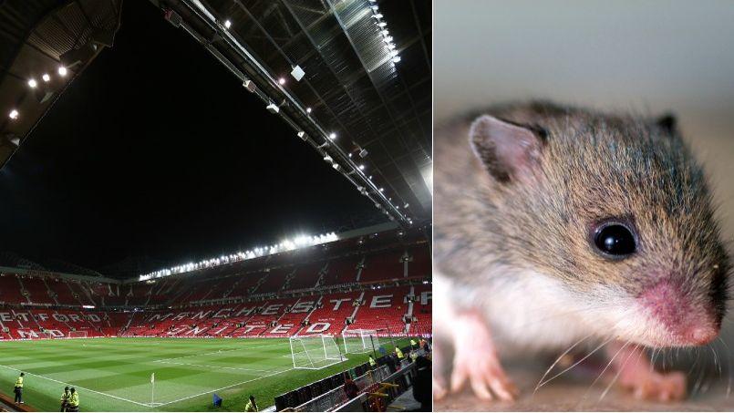 Le stade de Manchester United infesté de rongeurs