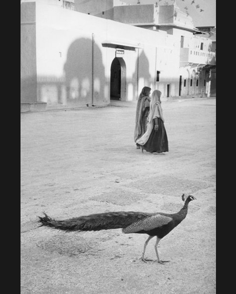 Paon de Jaipur, Inde 1956