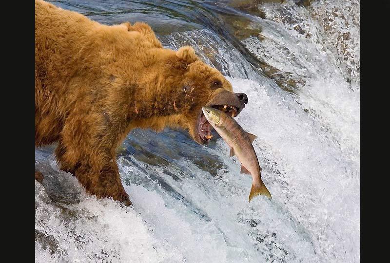 Cet ours, perché sur le bord d'une chute d'eau, parvient à garder son équilibre pour attraper son repas constitué de saumons. Cette pêche se déroule au parc national de Katmai, en Alaska.