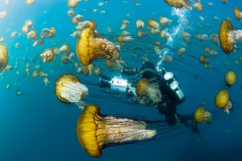 Dans la baie de Carmel, en Californie, ce nuage de méduses dorées est un cadeau inattendu pour David Reichert venu filmer… des loutres ! Mais pas question de faire ami-ami avec ces demoiselles dont les caresses ressemblent à celles des orties.