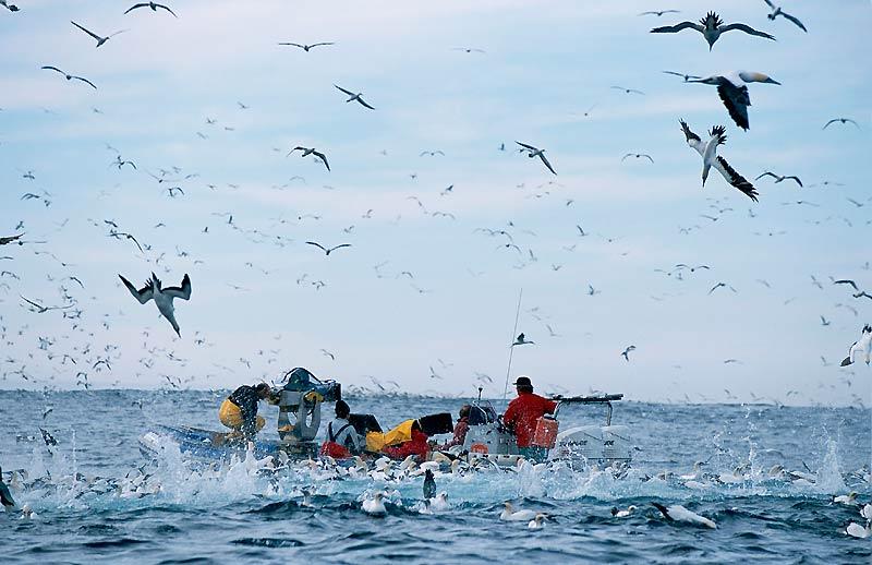 LE BANQUET DU «SARDINE RUN»Lorsque plusieurs espècesLorsque plusieurs espèces animales unissent leur puissance et leur instinct, il en résulte le sardine run, banquet aussi pantagruélique qu'impressionnant qui se déroule chaque été à partir du mois de juin, sur la côte du Natal, en Afrique du Sud. A cette époque, les sardines qui ont frayé au Cap remontent vers Durban, portées par les courants froids, et tombent dans un piège diabolique. Les dauphins ouvrent la chasse, plongeant joyeusement à près de 50 mètres de profondeur et fractionnant le banc en le forçant à former une boule qui remonte vers la surface. Erreur grossière : les malheureuses, croyant que l'union fait la force, constituent en fait, vues d'en haut, une superbe cible. Le danger vient maintenant du ciel où, tels des avions de chasse, des hordes de fous du Cap déferlent, percutant à plus de 100 km/h la surface de l'eau. Leurs ailes noir et blanc repliées à l'arrière, les volatiles pénètrent l'onde avec un bruit de fusil et embrochent les pauvres sardines jusqu'à 15 mètres sous la surface. Bientôt, les impacts sont si nombreux que du ciel, on croirait que l'eau, fouettée jusqu'à l'écume, est entrée en ébullition. A la mêlée se joignent bientôt d'autres joyeux convives : les requins, les otaries, les manchots et, si elle est dans les parages, la baleine à grande bouche...