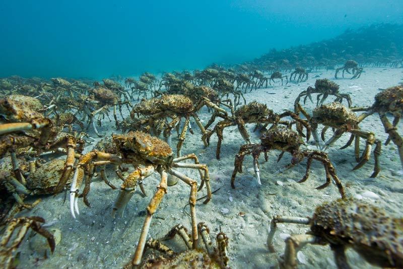 """LE CONGRÈS DES ARAIGNÉESChaque année, dit-on, des millions d'araignées de mer convergent vers la baie de Melbourne, en Australie, pour y muer et s'y reproduire. Le fait est connu. Pourtant,faute de pouvoir l'observer, les scientifiques ont longtemps cru à une légende. Et puis, un beau jour, un petit miracle est survenu. Mark Norman et Julian Finn, deux océanographes avec qui l'équipe avait tourné des plans de seiches géantes, leur ont montré quelques images de ce rassemblement. «Généralement, explique le réalisateur Jacques Cluzaud, les scientifiques ne sont pas très partageurs. C'est donc un cadeau qu'ils nous ont fait.» Un cadeau qui prouve à quel point ce film est une succession de rencontres, de hasards. L'année suivante, il s'est agi de localiser les bestioles dans cette gigantesque baie de plus de 100 kilomètres de large. De toutes les techniques envisagées, dont le tag, c'est celle de la petite annonce qui a paru la plus appropriée. « On a fait passer dans les journaux du coin un avis de recherche avec une prime. Tous les plongeurs de la région se sont relayés pour chercher et ont fini par localiserun groupe suffisamment important pour que René Heuzey, l'opérateur, commence à filmer. Ça a été très long car chaque jour, le nombre augmentait et les prises étaient plus impressionnantes. Il y a même eu un moment où le cameraman a été entièrement recouvert par les crabes, ce qui peut sembler assez effrayant même si, de la bouche de l'intéressé, c'était """"plutôt agréable""""... »"""
