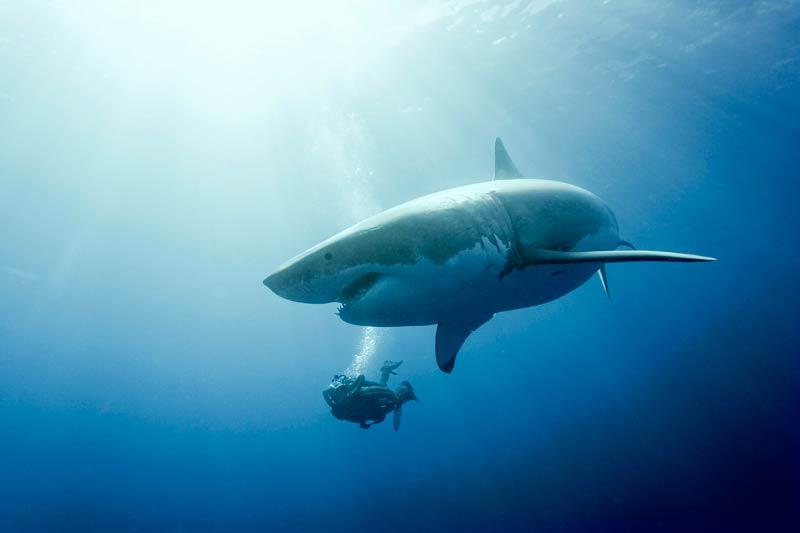 «Le face-à-face est facile, explique Sarano, mais le côtoiement, presque à se toucher, est exceptionnel. Nager de conserve implique, de la part du requin, une grande confiance.» Les plongeurs américains, qui avaient toujours abordé ces animaux à l'abri d'une cage, étaient très tendus à l'idée d'une balade en liberté. Le premier jour, tous se tenaient prudemment près des barreaux ; le dernier, tout le monde avait compris que François avait raison. «En vingt ans, à part certains surfeurs nageant dans des eaux troubles ou des vagues et qui pouvaient être pris pour un poisson, jamais aucun plongeur n'a été victime d'un requin.» Et d'expliquer que, selon la vieille théorie du «Fuis-moi, je te suis, suis-moi, je te fuis», « le requin n'attaque que si le plongeur se conduit comme une proie ».