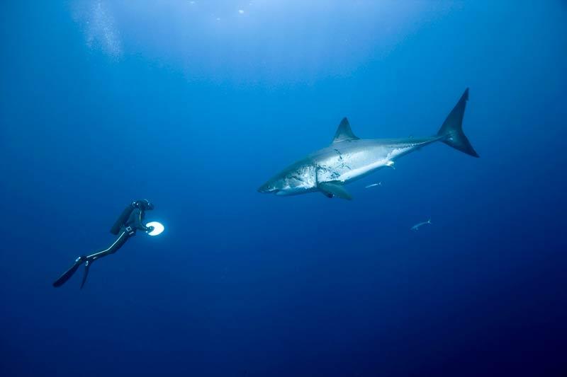 BALADE AVEC LE GRAND REQUIN BLANCLe requin n'attaque pas l'homme ! Cette affirmation que serinait le commandant Cousteau est aussi l'antienne de François Sarano, plongeur émérite et amoureux dece grand squale. C'est en novembre, dans les eaux claires de l'île Guadalupe, au Mexique, que Sarano rencontre ce Carcharodon carcharias d'une tonne et demie. «Nous voulions mettre en scène un dessinateur sous-marin croquant un requin, d'où la palette blanche que je tiens en main.» Il fallut dix jours et deux équipes qui passèrent soixante heures sous l'eau pour parvenir à montrer une image très différente de celle des Dents de la mer : un animal magnifique de grandeur et de majesté avec lequel on peut se promener.
