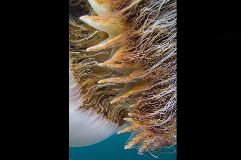 Les jupons de dentelle de la méduse japonaise.