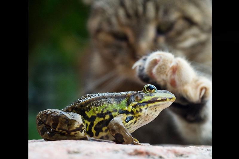Rencontre. Mardi 27 juillet, à Sieversdorf, en Allemagne, ce chat s'est pris d'une particulière affection pour cette grenouille et caresse la tête du batracien avec sa patte.