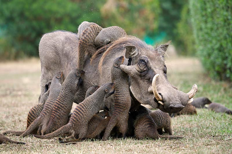 Derrière sa hure peu engageante, hérissée de poils rêches et d'imposantes défenses, ce grand mâle phacochère, le sanglier d'Afrique, se laisse chouchouter avec délectation et soulagement. Affairées comme les actrices du film de Tonie Marshall Vénus beauté, ces mangoustes rayées se comportent comme de véritables esthéticiennes de la brousse. Tout y passe : manucure, pédicure, mise en plis, gommage, lissage et... épouillage. Encore mieux qu'un bon bain de boue, rien ne vaut un passage par le salon d'esthétique des mangoustes ! Carnivores, ces petits mammifères ne dédaignent pas les parasites ni les petits insectes, mais une telle scène entre différentes espèces demeure peu commune.
