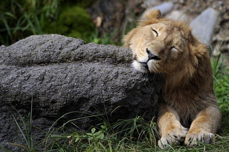 Au parc zoologique de Zurich, en Suisse, courant septembre, ce lion se repose, au soleil !