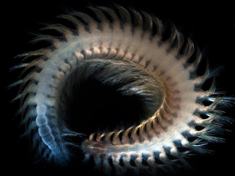 Les experts estiment qu'il reste encore quelque 750.000 espèces à découvrir. Un cinquième des océans n'a pas encore été exploré, notamment dans l'Arctique, l'Antarctique ou la partie orientale du Pacifique. La grande majorité du plancher marin a également subi très peu de prélèvements. Photo : Un polychète (vigtorniella sp), ver annelé découvert à 925 mètres de profondeur dans la baie de Sagami, au Japon.