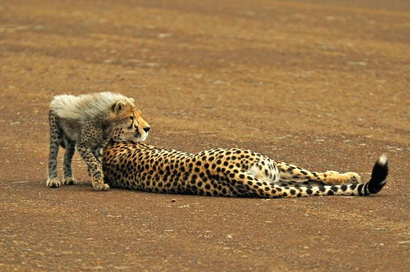 OEIL SUR OEIL.  Est-ce un bruit ou l'arrivée d'un intrus sur leur territoire qui a soudain attiré l'attention de ces deux guépards de la réserve de Masaï-Mara au Kenya ?D'un seul mouvement, cette femelle guépard et son petit ont tourné la tête dans la même direction, au point de se confondre l'un dans l'autre. Avec une saisissante symétrie, l'œil du jeune guépard est venu se placer dans l'exact parallèle de celui de sa mère, formant soudain un unique visage au même profil léonin. Un incroyable chevauchement qui n'a pas échappé au photographe. Taillé pour la course, le guépard est le plus rapide et le plus gracile des grands félins d'Afrique. Il est aussi celui qui sait le mieux utiliser son camouflage naturel.