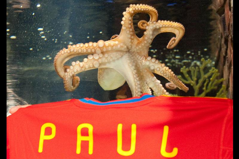 Paul le poulpe, héros du dernier Mondial de foot pour ses prédictions sportives, est décédé mardi 26 octobre. Le céphalopode devin est mort «de causes naturelles», selon la direction de l'aquarium d'Oberhausen qui l'hébergeait.