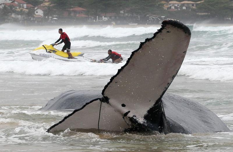 Mardi 26 octobre, ces sauveteurs tentent de venir en aide à une baleine à bosse qui s'est échouée sur la plage de Geriba, à Búzios, au Brésil.