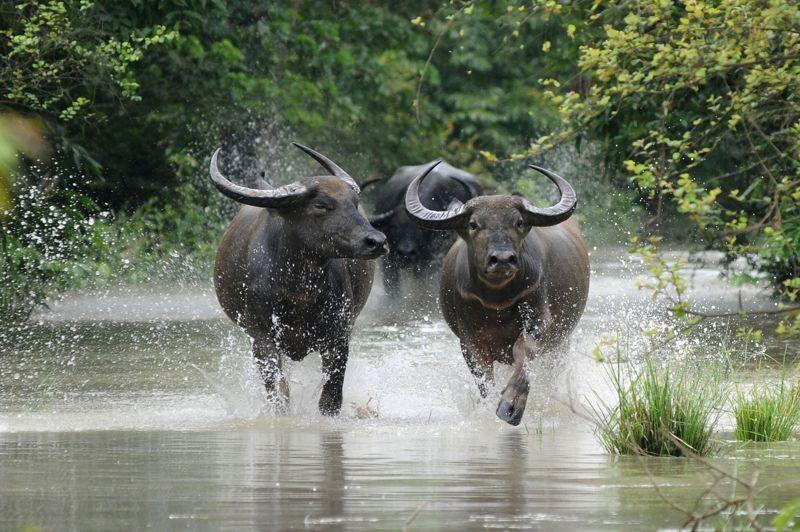 Les eaux de la crue du fleuve Brahmapoutre ont submergé près de 90 % de la réserve naturelle de Pobitora. Les animaux ont dû se réfugier dans les hauteurs de la réserve, comme ici des buffles sauvages. Plus de 70 % du parc national animalier de Kaziranga a également été inondé.