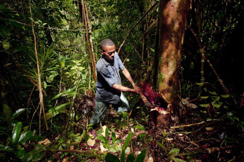 Parc national de Masoala, Madagascar, le 21 aout 2009. - Un ouvrier malgache abat à la hache un arbre dont est extrait le bois de rose, une essence rare. Malgré le prix de revente très élevé, le salaire de chaque ouvrier -des villageois des environs pour la plupart - est inférieur à 4 dollars par jour. Avec ce mode d'extraction, les blessures sont courantes et une grande quantité de bois est gaspillée.