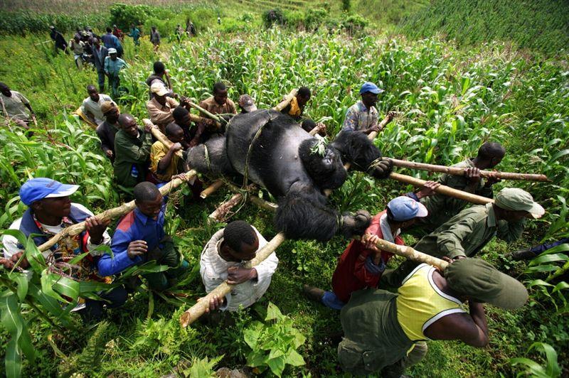 Parc national des Virunga, République démocratique du Congo, 24 juillet 2007. - Les garde-forestiers de ce parc national évacuent les cadavres de quatre gorilles - le mâle dominant Senkekwe et trois femelles- exécutés par des hommes armés non identifiés. Quadrillée par les exploitants de mines illégales de charbon, la région, très pauvre, est l'une des plus dangereuses du monde pour les garde-forestiers, dont plus de 100 ont été tués dans l'exercice de leur métier.