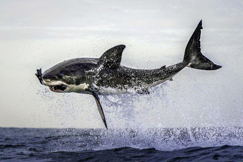 Tel est pris... Lancé comme une torpille, ce grand requin blanc a littéralement déchiré la surface de la mer pour gober ce qu'il croyait être un jeune phoque... mais qui n'était qu'un leurre, utilisé par le photographe Dana Allen pour réaliser ce cliché, près de la ville du Cap, en Afrique du Sud. Image d'Épinal du requin mangeur d'homme, le Grand Blanc apparaît ici dans sa réalité la plus brutale. Prédateur absolu, il traîne derrière lui la plus épouvantable réputation. Pourtant, la plupart des attaques sur l'homme qui lui sont attribuées ne sont pas réellement intentionnelles. S'il s'en prend parfois aux surfeurs, c'est uniquement en raison de leur ressemblance, vu des profondeurs et à travers les yeux de ce grand poisson cartilagineux, avec un phoque, son plat préféré...
