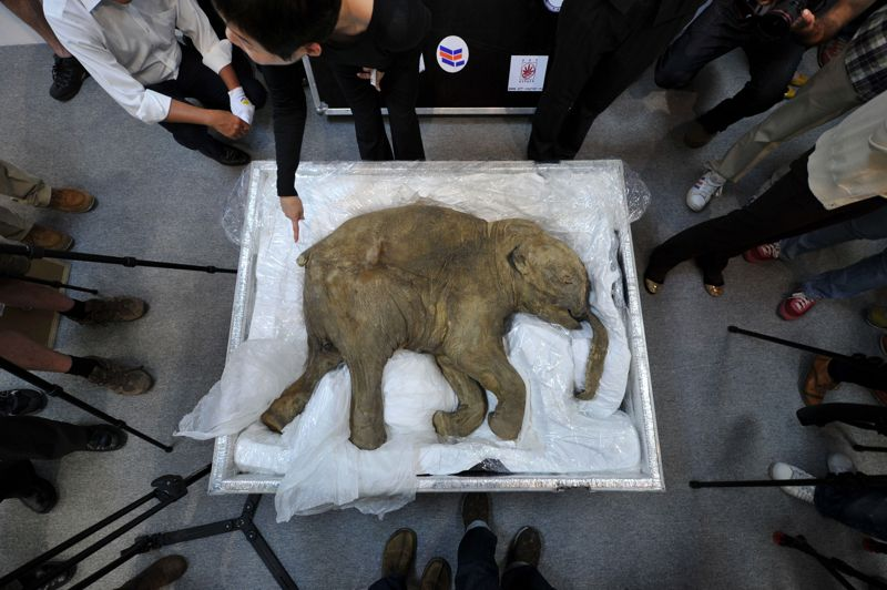 AVRILChine. La carcasse de Liouba, le bébé mammouth le mieux conservé au monde, découvert par un chasseur de rennes en Russie en mai 2007, est soigneusement gardée à Hong Kong avant d'être exposée au centre commercial IFC. L'animal, soumis à des analyses modernes, serait âgé de 42.000 ans et serait mort noyé ou pris dans de la boue liquide. Ce bébé mammouth d'une cinquantaine de kilos est le plus beau spécimen de cet animal jamais mis au jour.