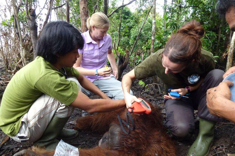 Secouru. Cet orang-outan a échappé à une mort certaine. Pris en piège dans une petite parcelle de forêt isolée près de Pematang Gadung, à l'ouest de Kalimantan en indonésienne, et incapable de trouver de la nourriture, il risquait de mourir de faim. Il a fort heureusement été secouru par des bénévoles de «International Animal Rescue» qui viennent en aide aux animaux en détresse. Il a depuis été réinstallé dans un endroit plus adapté.