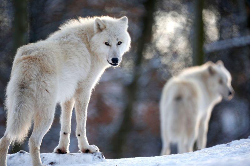 Le refuge de Werner Freund acceuille 29 canidés de 6 sous-espèces, comme ce loup arctique. Tous sont issus de naissances en captivité.