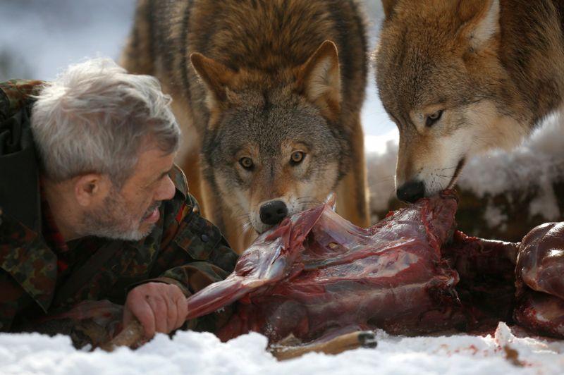Afin de gagner ce respect, Werner doit se comporter en chef de meute ; il se nourrit le premier et impose aux loups (ici, des loups de Mongolie) d'attendre son «accord» pour pouvoir commencer leur repas.