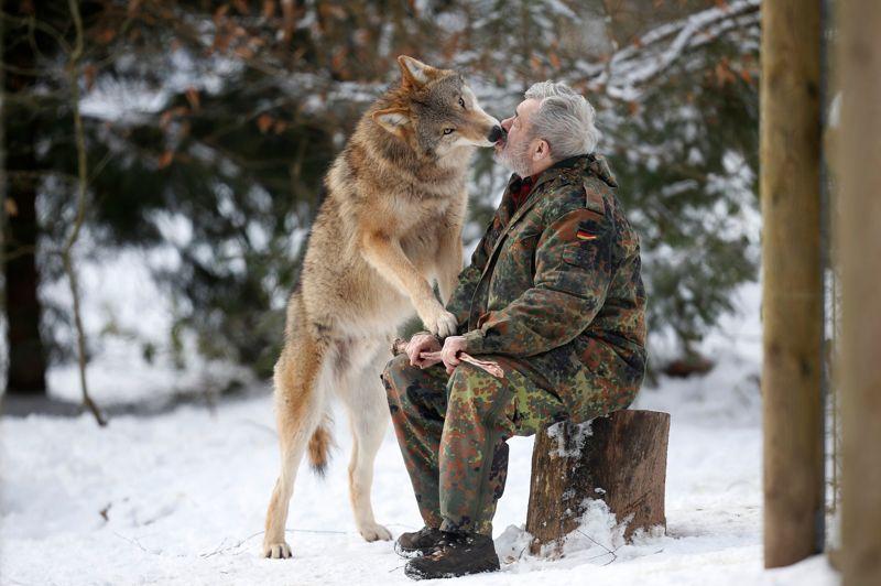 Le loup de Mongolie Heiko lèche les lèvres de Werner en signe de reconnaissance d'appartenance au groupe.