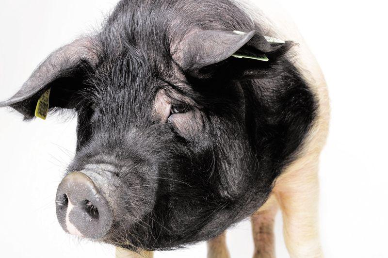 Galillée, cochette de race Cul Noir Limousin a 18 mois. Vivant dans le domaine de Grand Bourdelas en Haute-Vienne, elle appartient à une race qui a failli disparaître dans les années 1980.