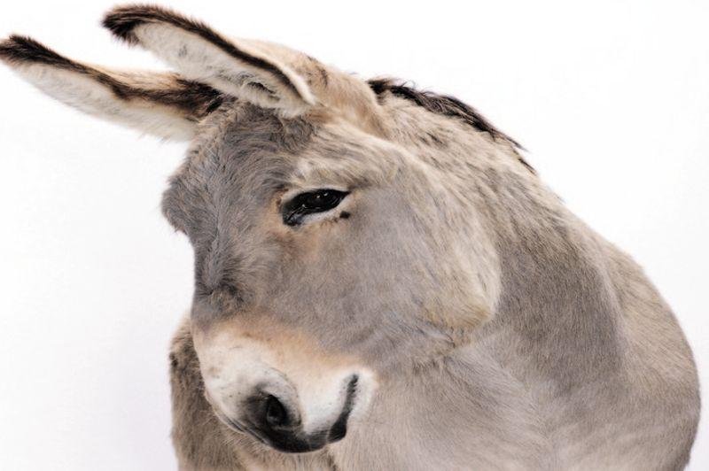 Rubens du Colombier, 8 ans, est le doyen des mascottes du Salon 2013. Cet âne de Provence, race autrefois utilisée pour la transhumance des moutons sert aujourd'hui à des activités touristiques.