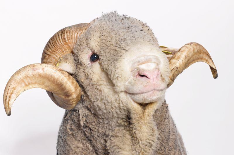 Lorenzo, bélier de race mérinos de Rambouillet fournit 9000 kilomètres de fibre chaque année. Il accueille près de 100.000 visiteurs par an dans sa ferme pédagogique.
