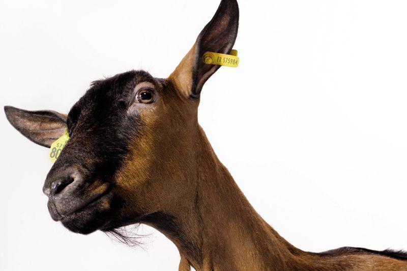 Douce est une chèvre alpine, race la plus courante au sein de l'Hexagone, qui compte 480.000 têtes. Agée de 5 ans, elle produit en moyenne 4 litres de lait par jour et séduit par sa robe fauve et son épine dorsale noire.