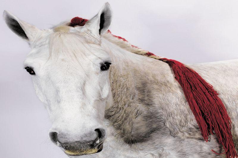 Upac, 5 ans, est une jument de race «Percheronne». Sa robe grise et ses oreilles longues et fines font d'elle une habituée des concours. Des chevaux de cette race servirent il y a quelques siècles pour tracter des diligences et des appareils de labour.