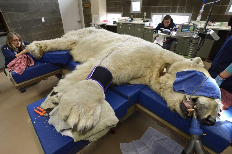 Aux petits soins. Endormi, l'ours blanc Boris, du zoo de Point Defiance, à Tacoma, près de Washington aux Etats-Unis, bénéficie d'une manucure et de petits soins attentionnés. Un passage obligé, tant ce grand carnivore peut avoir des réactions agressives quand il se sent en danger. La population d'ours polaires, en déclin, compterait de 20.000 à 25.000 individus vivant principalement au Canada mais aussi aux États-Unis, en Russie, au Groenland (Danemark) et en Norvège. Quelque 800 ours blancs sont tués chaque année, et environ 400 commercialisés au niveau international, selon le Fonds mondial pour la nature (WWF). .