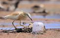 Déchets plastiques contre oiseaux marins