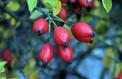 Peut-on obtenir de nouveaux rosiers à partir de graines ?