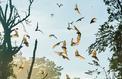 Les chauves-souris peuvent être identifiées par leurs vocalises