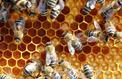 Les abeilles sensibles aux oméga 3