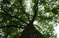 Les plus beaux chênes seraient en sursis en France