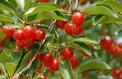 Comment s'assurer qu'un jeune cerisier a bien «repris» ?