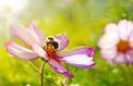 Jardin: un milliard de fleurs à semer pour les abeilles