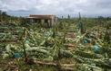 Ouragan Maria : les bananiers de Guadeloupe et de Martinique ont été détruits
