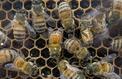 La production de miel français à l'arrêt