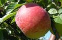 Arbres fruitiers: du nouveau, de l'ancien, de l'insolite