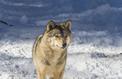 Entre loups et chiens