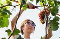 Vin: diversifier les cépages pour résister au réchauffement