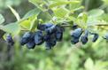 Camérisier bleu ou chèvrefeuille comestible